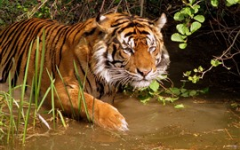 Preview wallpaper Tiger, water, wildlife