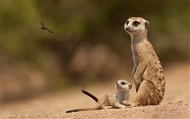 Dois suricatos, olhe para a abelha