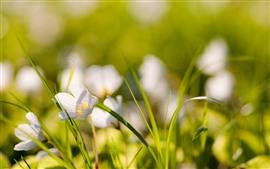 Fleurs blanches, feuilles d'herbe verte, brumeuses