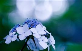 Flores de hortênsia branca, fundo nebuloso