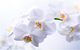 Preview wallpaper White phalaenopsis, water droplets, petals