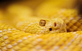Preview wallpaper Yellow rattlesnake, eye, look