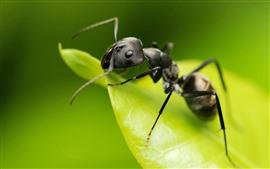 Fotografía macro de hormigas, insecto, hoja verde