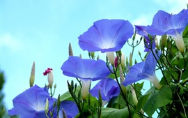 Blue morning glory, sky background