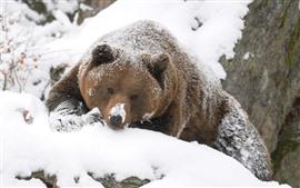 Aperçu fond d'écran Ours brun, regard, neige, hiver