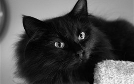 Fluffy black cat, eyes, look