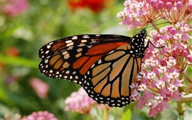 Preview wallpaper Insect, butterfly, pink flowers, spring