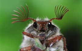 Insect macro photography, beetle, antennae