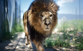 Lion walk to you, mane, front view, zoo