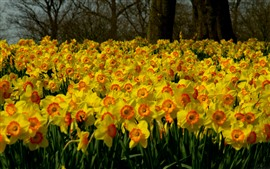 Preview wallpaper Many yellow daffodils flowers, garden