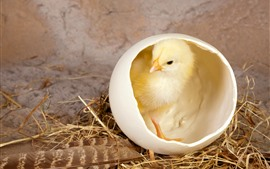 Preview wallpaper One chick, egg shell