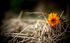 One orange flower, dry grass