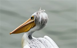 Pelican, bird close-up, beak, white feathers