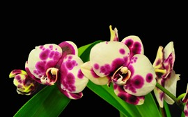 Preview wallpaper Pink and white spot phalaenopsis, green leaves, black background