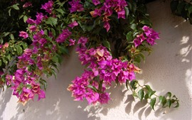 Preview wallpaper Pink bougainvillea, wall