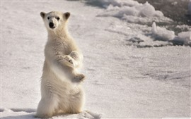 Polar bear cub, standing up