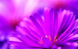 Preview wallpaper Purple petals close-up, flower macro photography