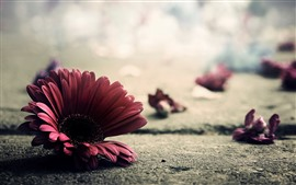 Red gerbera, petals, ground