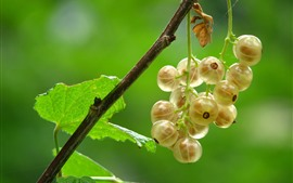 Some yellow currants, green background