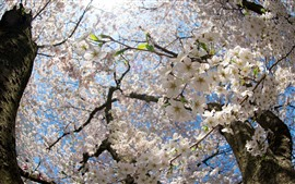 Preview wallpaper Spring, white sakura, tree, flowers