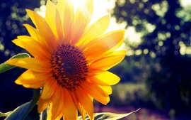 Preview wallpaper Sunflower close-up, yellow petals, backlight