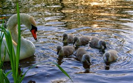Preview wallpaper Swan family, water, lake