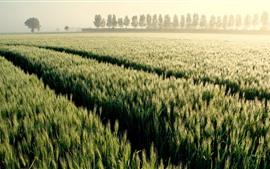 Wheat fields, trees, fog, morning
