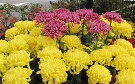 Yellow and pink chrysanthemum