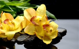 Preview wallpaper Yellow phalaenopsis, flowers, water droplets, stones