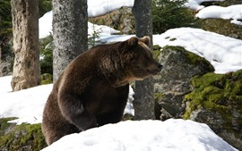 Preview wallpaper Brown bear, snow, winter, rocks