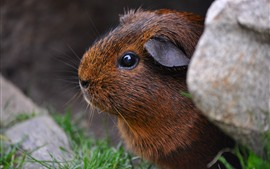 Preview wallpaper Brown guinea pig, eye, stone