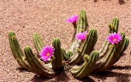 Preview wallpaper Cactus flower bloom, pink flowers