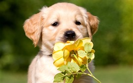 Preview wallpaper Cute dog and yellow rose