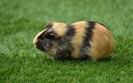 Porquinho-da-índia fofo, grama verde
