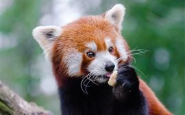 Panda vermelho fofo comendo comida