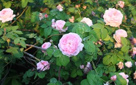 Preview wallpaper Garden, pink roses, green leaves, sunshine