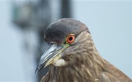 Preview wallpaper Gray pigeon, beak