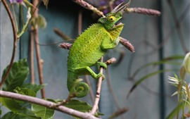 Preview wallpaper Green chameleon, lizard, horns