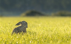 Hare, grass, summer