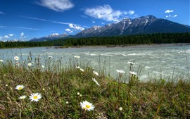 Kootenay, Canada, daisies, river, trees, mountains, nature landscape