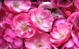 Many pink flowers, petals, spring, macro photography