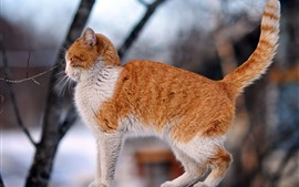 Preview wallpaper Orange cat, side view, tail