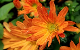 Orange gerbera flowers, water