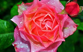 Preview wallpaper Pink rose macro photography, petals, water droplets