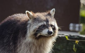 Preview wallpaper Raccoon, front view, look, plant