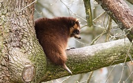 Preview wallpaper Raccoon on tree