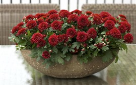 Preview wallpaper Red chrysanthemums, bowl