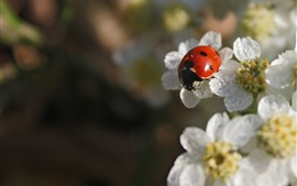 Preview wallpaper Red ladybug, white flowers, hazy