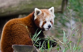 Panda vermelho, olhe para trás, bambu