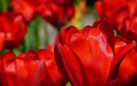 Preview wallpaper Red tulips macro photography, water droplets
